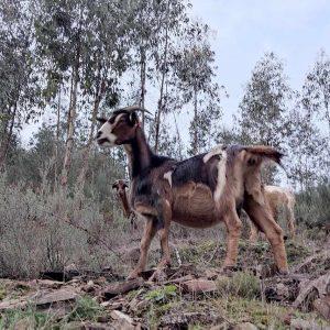 Cabras-EcoAldeia